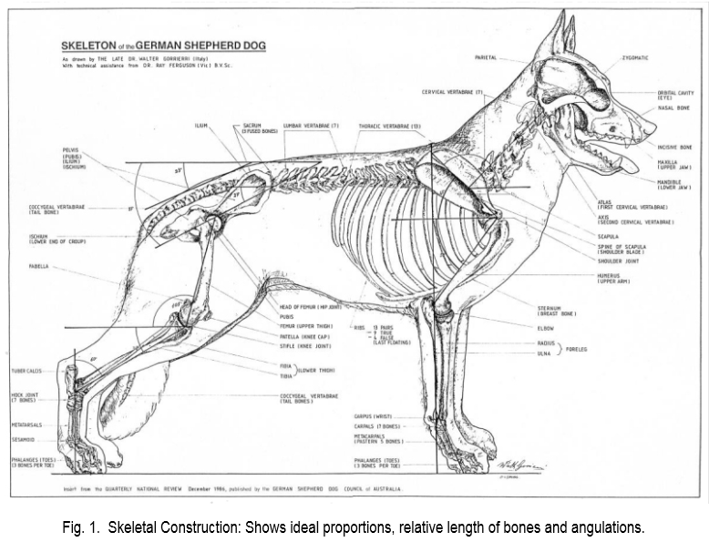 Ext breed standard skeletal structure