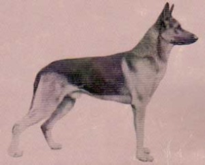 An early representative of the breed in Australia Claus v Eulengarten (circa 1929)