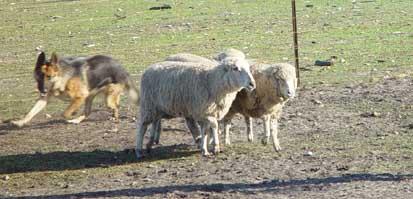 herding_astrolupus_amber