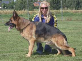 A fine example of a German Shepherd (Stock Coat) VA Pakros d'Ulmental with Jess Lynch in Germany